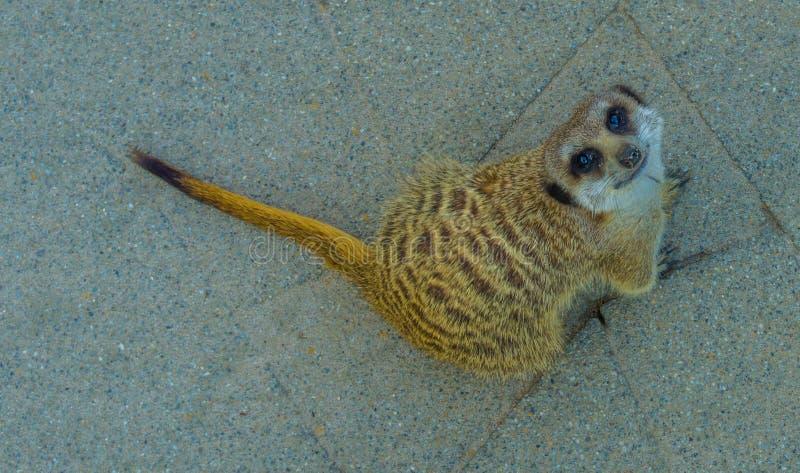 Retrato animal bonito de um meerkat que senta-se e que olha na câmera com os olhos adoráveis do cachorrinho fotografia de stock royalty free