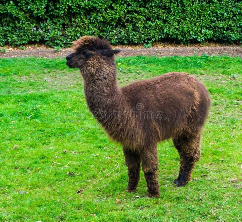 Retrato animal bonito de uma alpaca marrom do suri ou do huacaya com posição de lã peludo longa da pele na grama fotos de stock royalty free