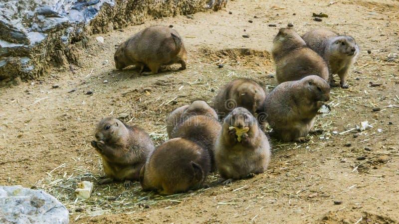Retrato animal de la familia del roedor perros de las praderas lindos de un grupo de los pequeños que mordiscan en cierta comida  fotografía de archivo