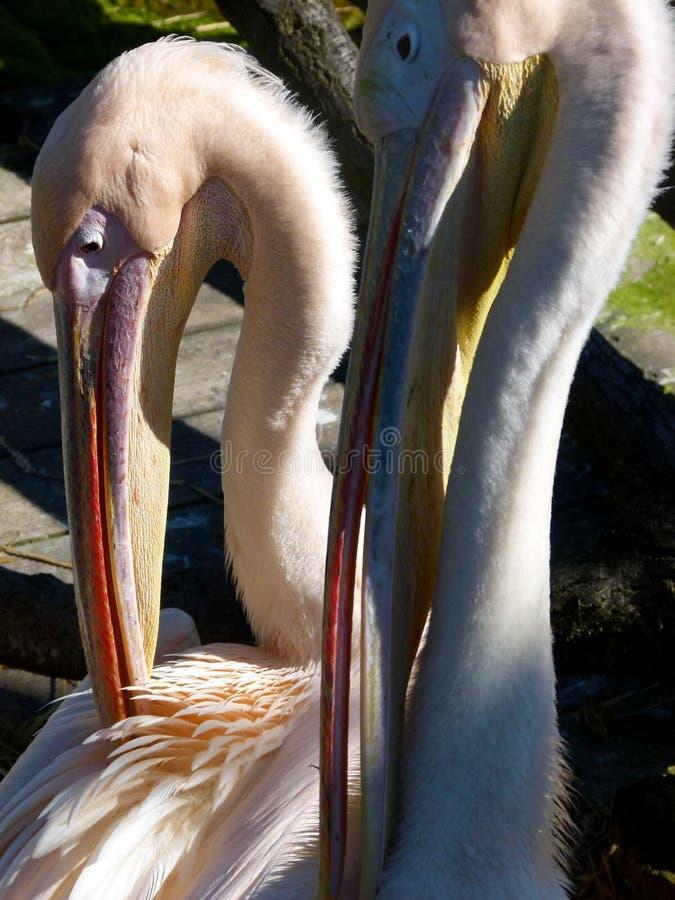Retrato animal de 2 pelícanos foto de archivo libre de regalías