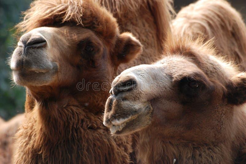 Retrato animal del camello imágenes de archivo libres de regalías