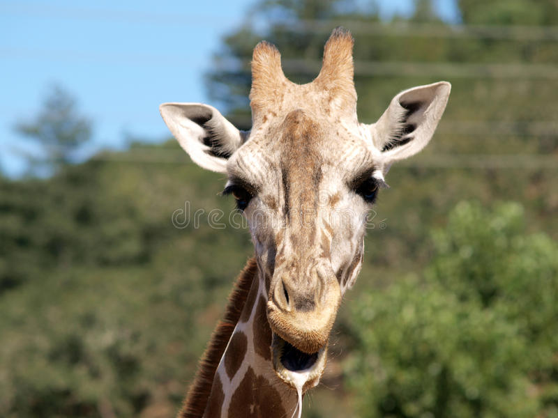 Retrato ao ar livre do Giraffe que drooling e que mastiga fotos de stock royalty free