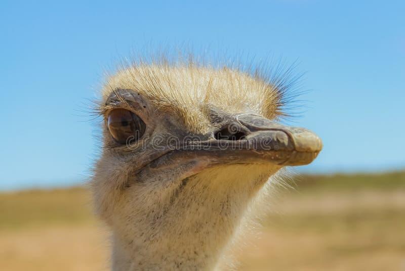 Retrato ascendente cercano de la avestruz fotografía de archivo