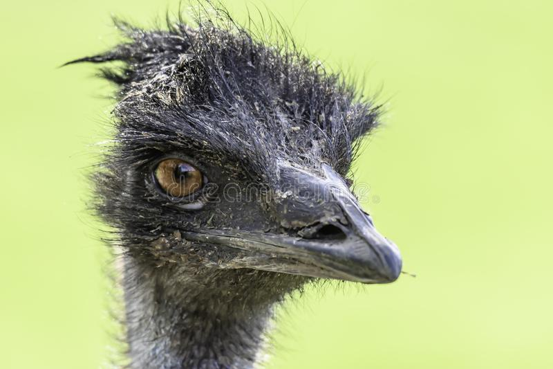 Retrato ascendente cercano de la avestruz del emú que mira in camera fotografía de archivo