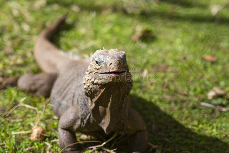 Retrato ascendente cercano de la iguana en la hierba verde Espacio libre para el texto, Cuba imágenes de archivo libres de regalías