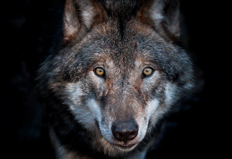 Retrato ascendente cercano de un lobo gris europeo fotografía de archivo libre de regalías