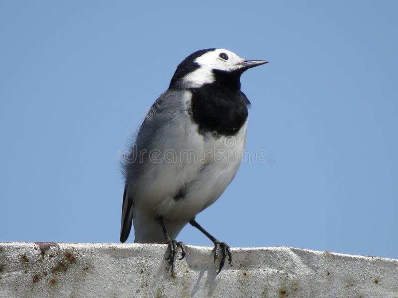 Retrato ascendente cercano de un pájaro blanco encaramado del aguzanieves con las plumas blancas, grises y negras foto de archivo libre de regalías