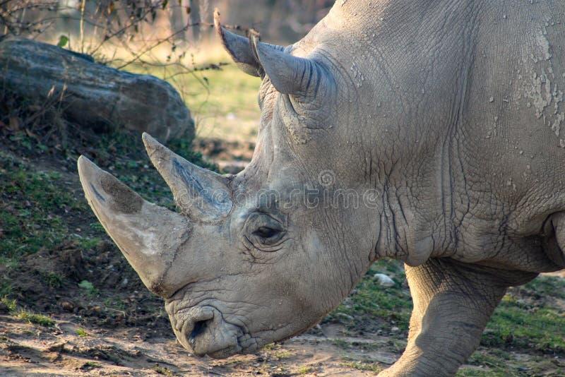 Retrato ascendente cercano de un rinoceronte blanco fotos de archivo libres de regalías
