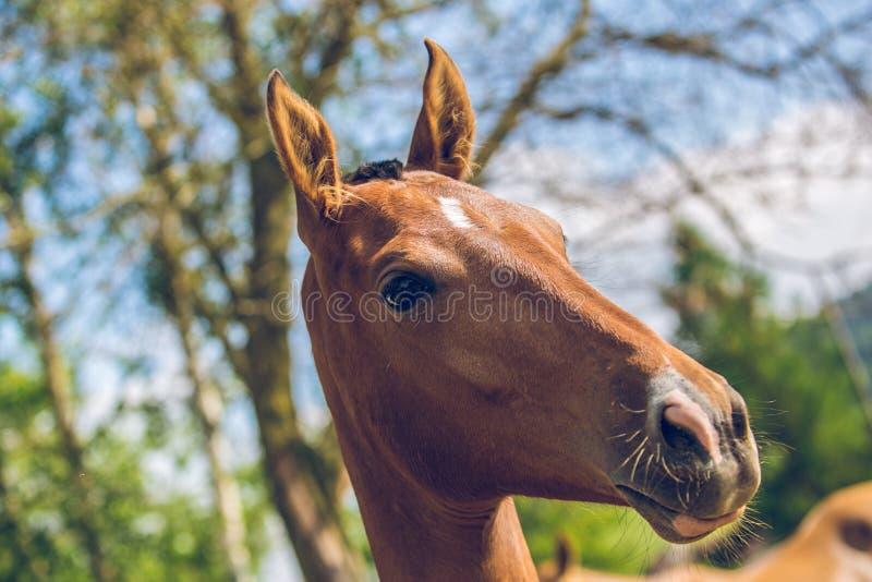 Retrato ascendente cercano del caballo rojizo aristocrático joven de Akhal-Teke fotos de archivo