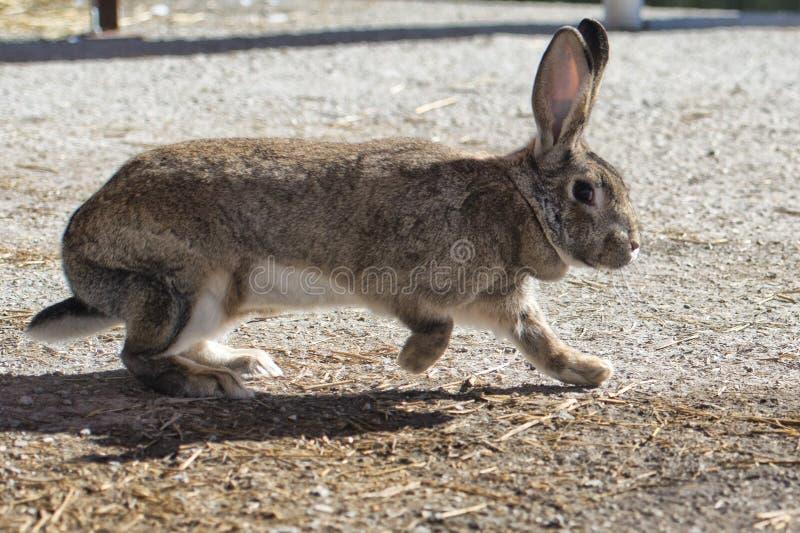 Retrato ascendente cercano del conejo imagen de archivo