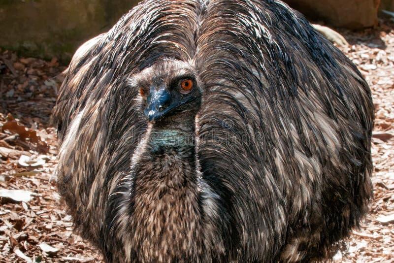 Retrato ascendente cercano del emú imagen de archivo libre de regalías
