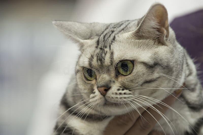 Retrato ascendente cercano del gato fotografía de archivo