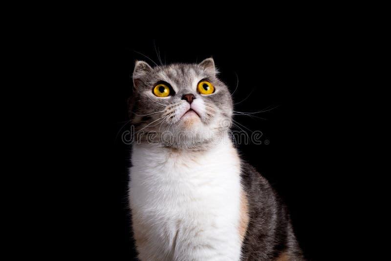 Retrato ascendente cercano del gato escocés criado en línea pura del doblez que mira para arriba fotos de archivo libres de regalías