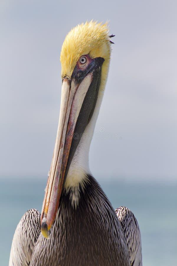 Retrato ascendente cercano del gráfico del pelícano en las llaves de la Florida imágenes de archivo libres de regalías