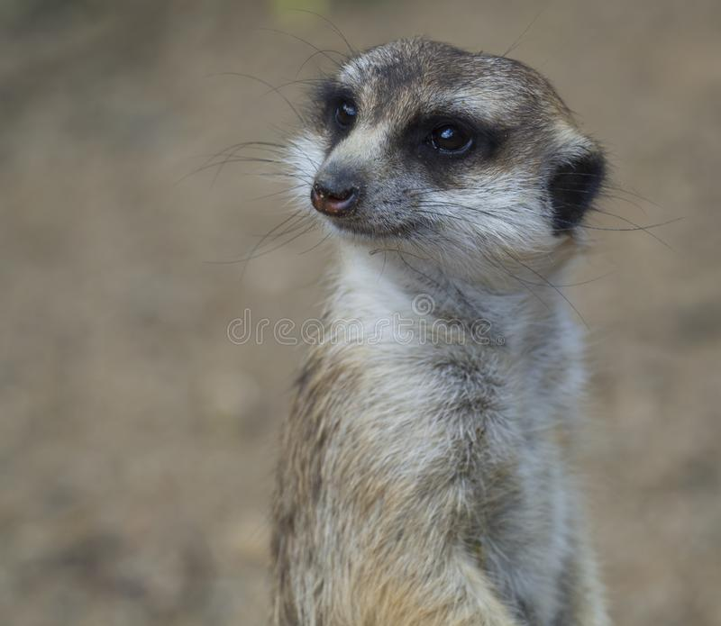 Retrato ascendente cercano del meerkat o del suricate, suricatta que mira a la cámara, foco selectivo, espacio del Suricata de la imagen de archivo