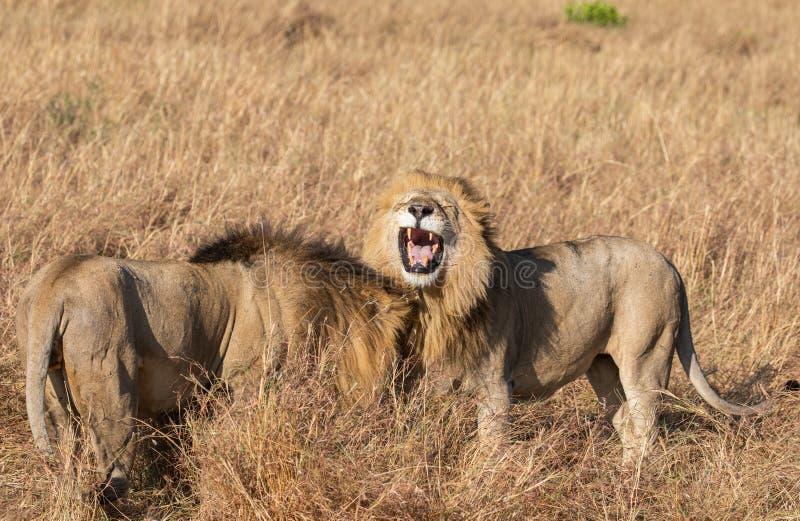 Retrato ascendente cercano del río o del león masculino del orgullo de Elawana, Panthera leo de la arena, bostezando y mostrando  fotografía de archivo