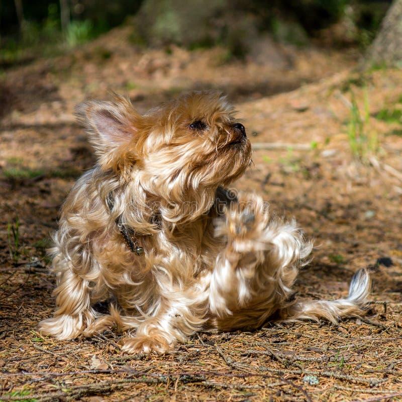 Retrato ascendente cercano del terrier de Yorkshire del perro bonito, dulce, pequeño, pequeño imagenes de archivo