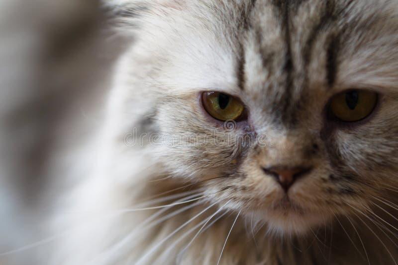 Retrato ascendente cercano un gato lindo Foco selectivo en cat' ojo de s imágenes de archivo libres de regalías