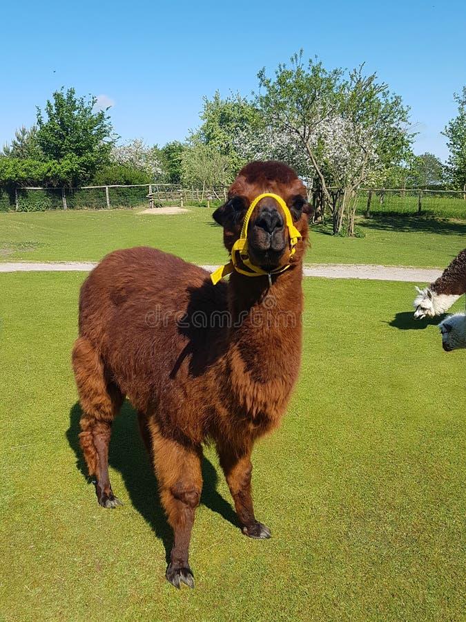 retrato ascendente próximo da alpaca amigável bonito fotografia de stock