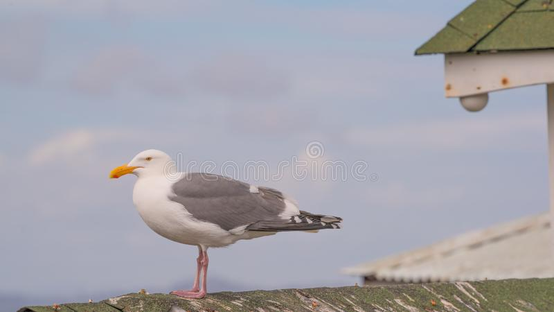 Retrato ascendente próximo da gaivota de mar no telhado da estrutura com os céus azuis ensolarados e as nuvens brancas inchados n fotos de stock royalty free