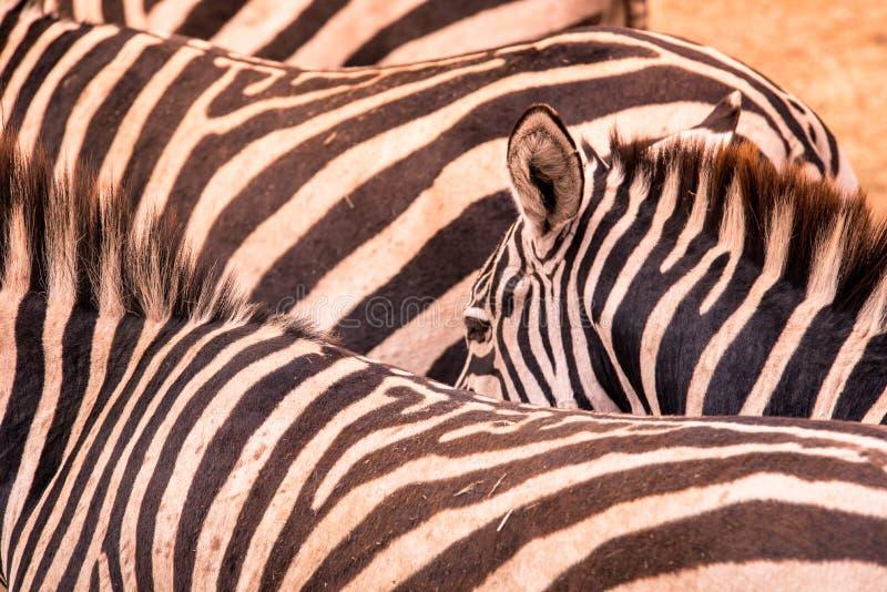 Retrato ascendente próximo de uma zebra no rebanho das zebras com teste padrão de listras preto e branco Cena dos animais selvage fotos de stock royalty free
