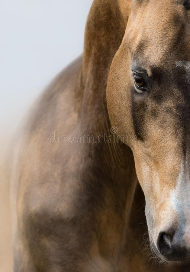 Retrato ascendente próximo do cavalo dourado da pele de gamo de Akhalteke imagem de stock royalty free