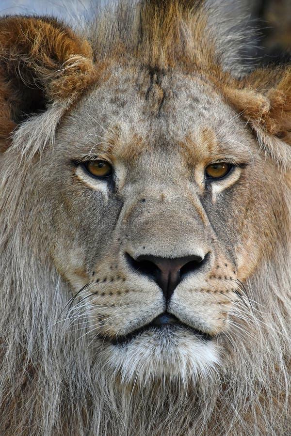 Retrato ascendente próximo do extremo do leão africano novo imagens de stock