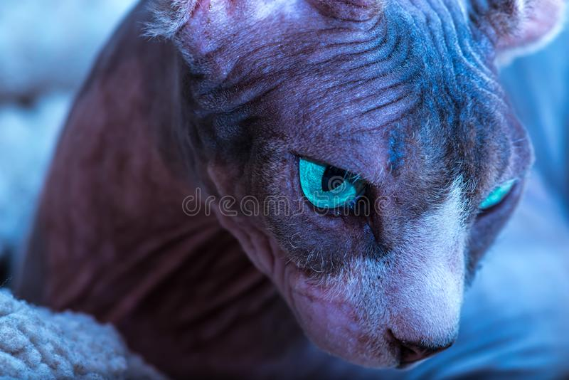 Retrato ascendente próximo do gato de Sphynx do canadense imagem de stock