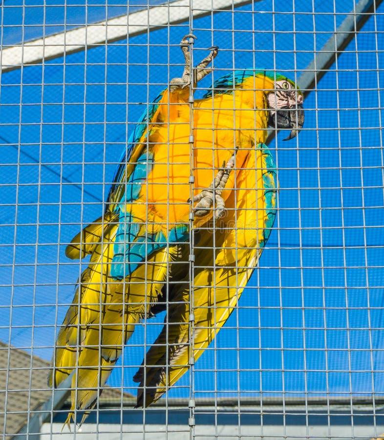 Retrato ascendente próximo do pássaro de um papagaio colorido da arara que pendura na cerca de sua gaiola fotos de stock royalty free