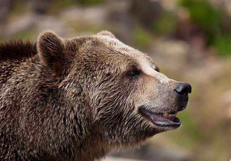 Retrato ascendente próximo do urso marrom adulto Retrato do beringianus dos arctos do Ursus do urso de Kamchatka foto de stock royalty free
