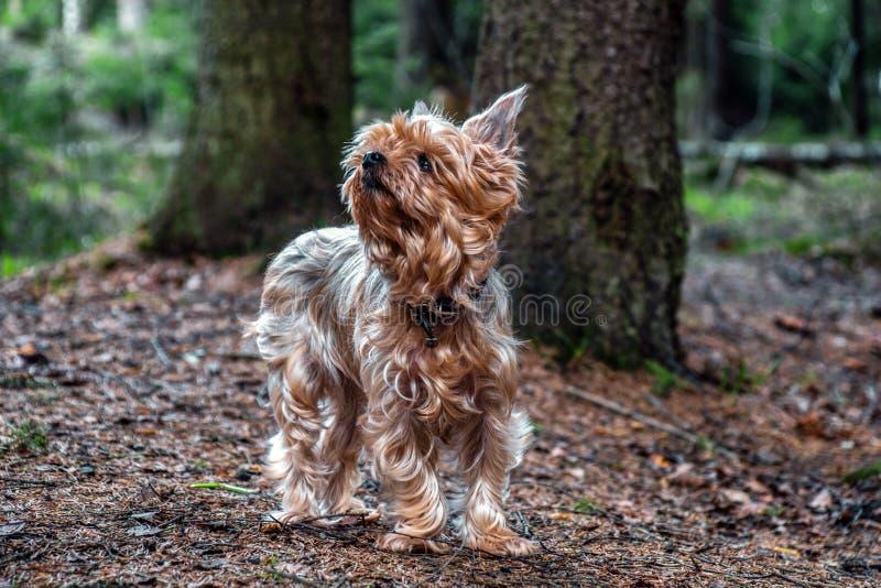 Retrato ascendente próximo do yorkshire terrier do cão bonito, doce, pequeno, pequeno fotografia de stock royalty free