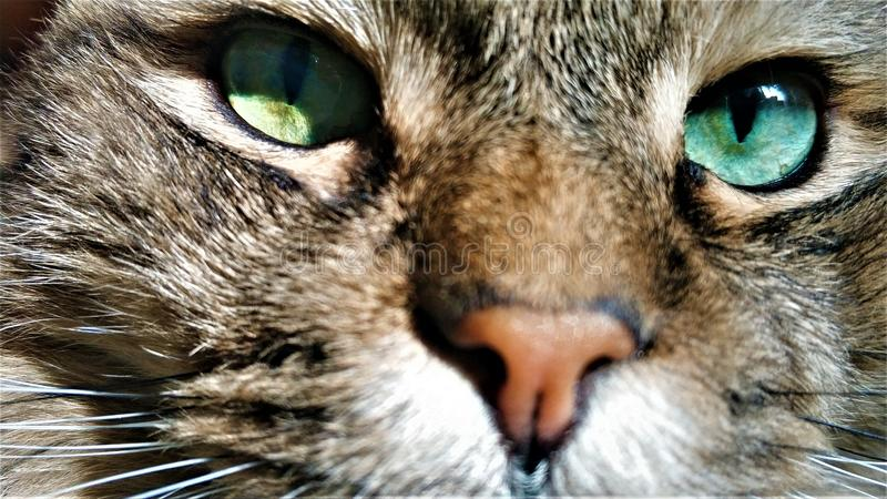 Retrato ascendente pr?ximo da ra?a Siberian do gato de olhos verdes imagens de stock royalty free