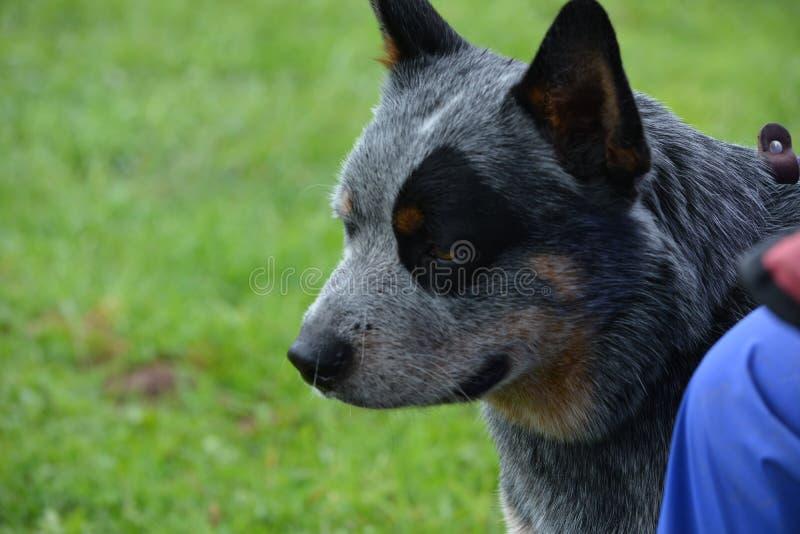 Retrato australiano de la cabeza de perro del ganado imagen de archivo