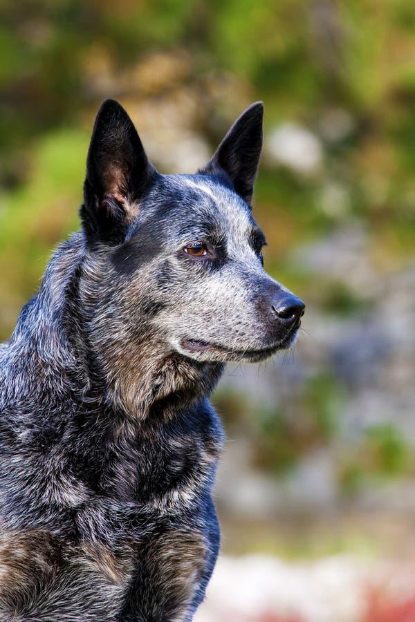Retrato australiano del varón del perro del ganado foto de archivo libre de regalías