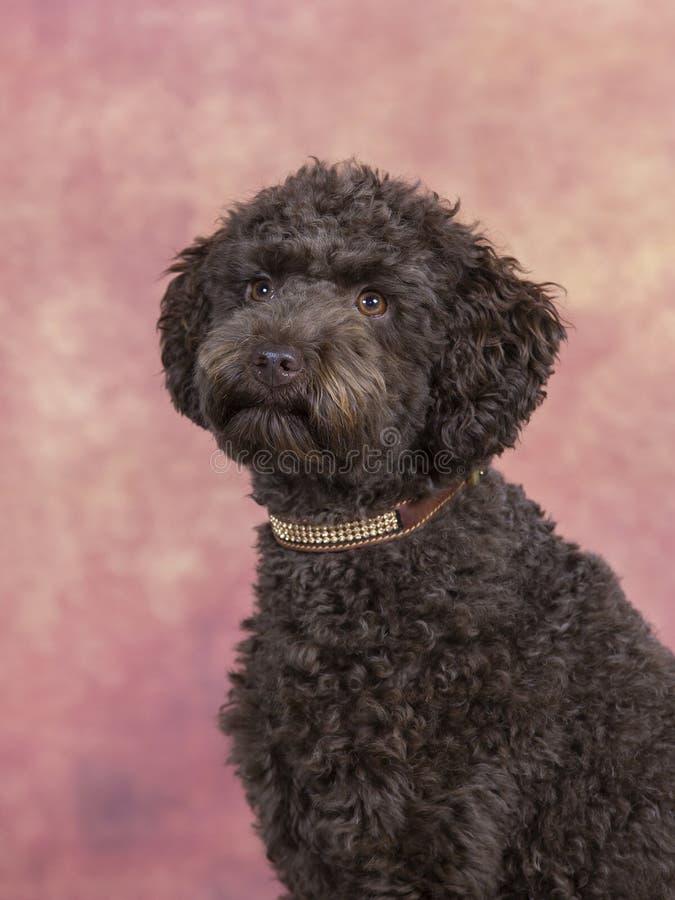 Retrato australiano do cão de cachorrinho do labradoodle foto de stock