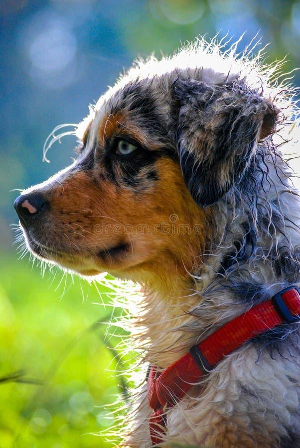 Retrato australiano do filhote de cachorro do pastor fotografia de stock