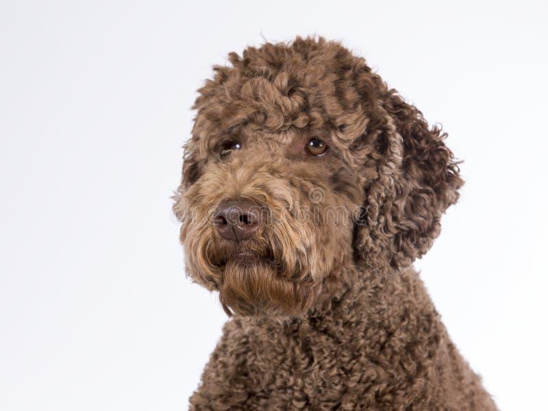 Retrato australiano do labradoodle fotos de stock