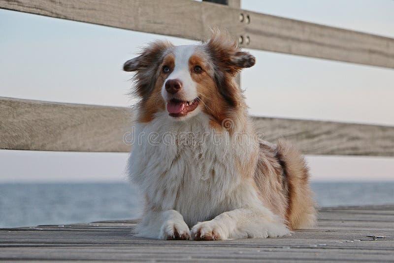 Retrato australiano do pastor na praia imagens de stock