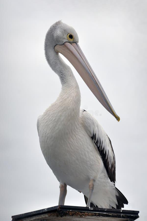Retrato australiano do pelicano fotografia de stock royalty free