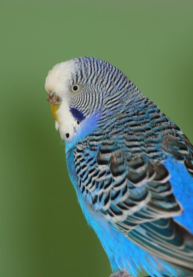 Retrato azul do Budgerigar fotografia de stock royalty free