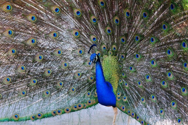 Retrato azul indiano do pavão fotografia de stock