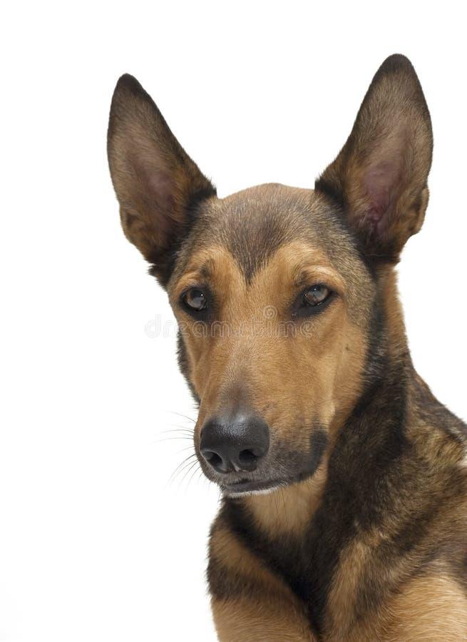 Retrato belga do Sheepdog (Malinois) foto de stock