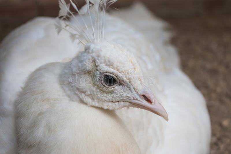 Retrato blanco del pavo real imágenes de archivo libres de regalías