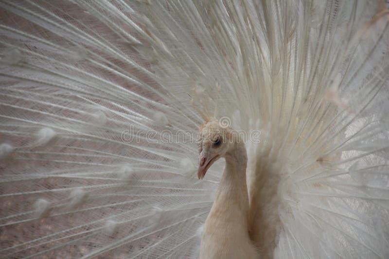 Retrato blanco del pavo real imagen de archivo