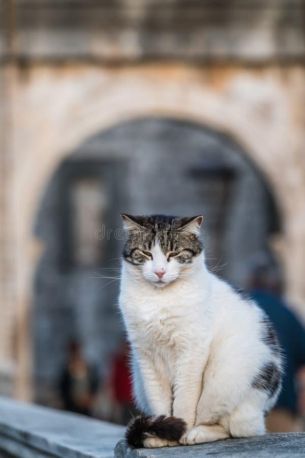 Retrato blanco soñoliento lindo del gato fotos de archivo libres de regalías