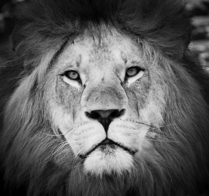 Retrato blanco y negro de un león fotografía de archivo libre de regalías