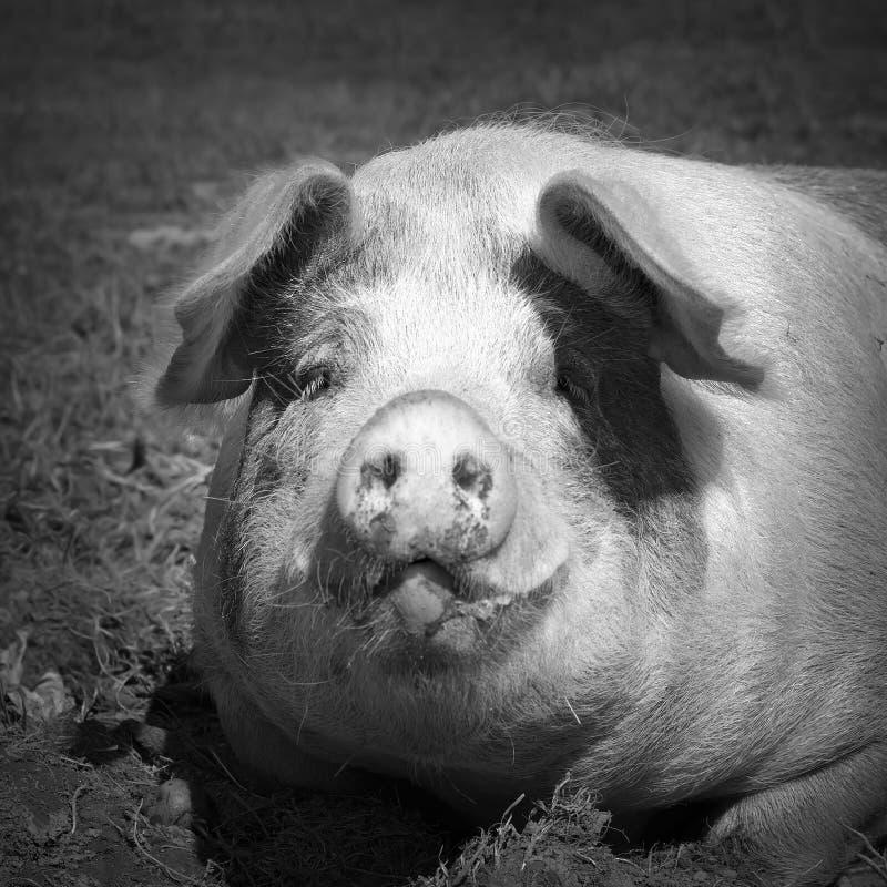 Retrato blanco y negro del cerdo nacional fotos de archivo libres de regalías
