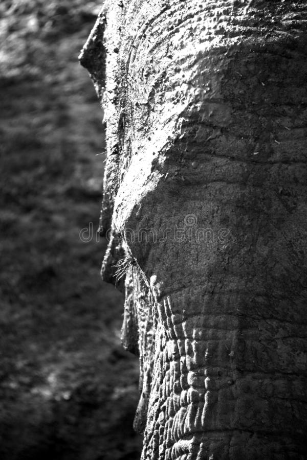 Retrato blanco y negro del elefante africano en alto contraste fotografía de archivo libre de regalías