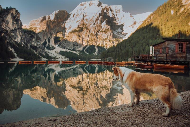 Retrato blanco y negro joven del perro del border collie en fondo azul del lago de la montaña Lago di Braies, Italia fotos de archivo libres de regalías