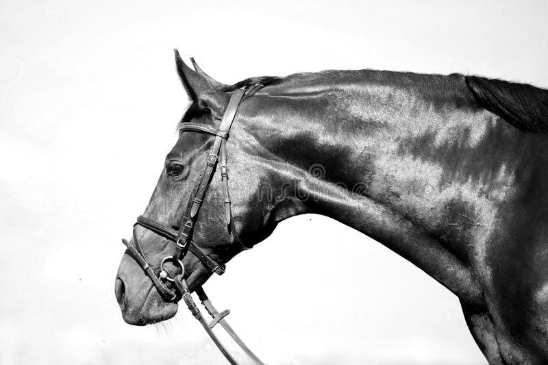 Retrato blanco y negro monocromático del caballo imagen de archivo libre de regalías
